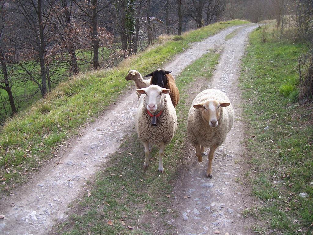 Photo de moutons sur le chemin