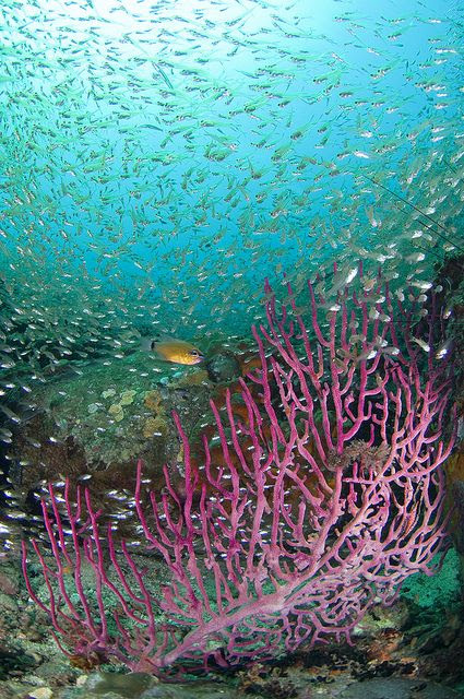 Under the sea - Seafan with school of silvery fish, Mayne Rock, West Coast of Sabah, Borneo, Malaysia