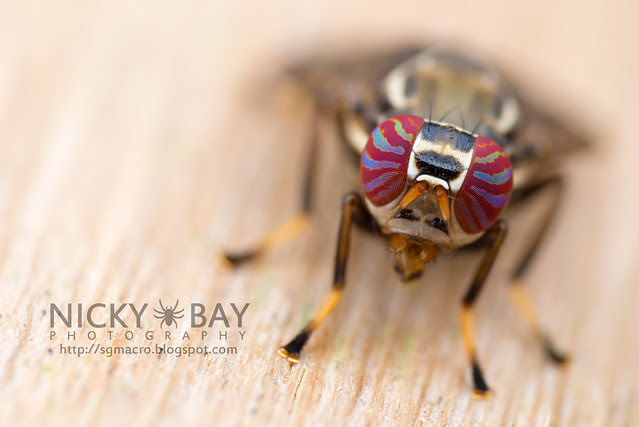 Signal Fly (Platystomatidae) - DSC_6312