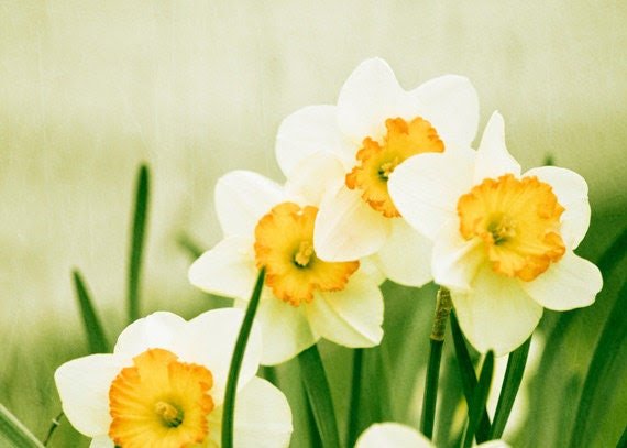 "Flower Photography - yellow green photo spring daffodil wall art prints nature photography color white - 5x7 Photograph, ""A Fresh Start"""