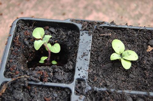 Potting up TPS seedlings