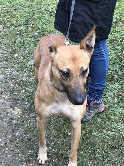 Mali – 2 year old female Lurcher Cross