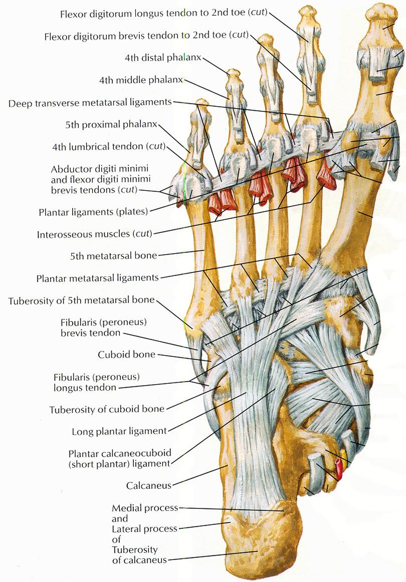 Leg Nerve Diagram
