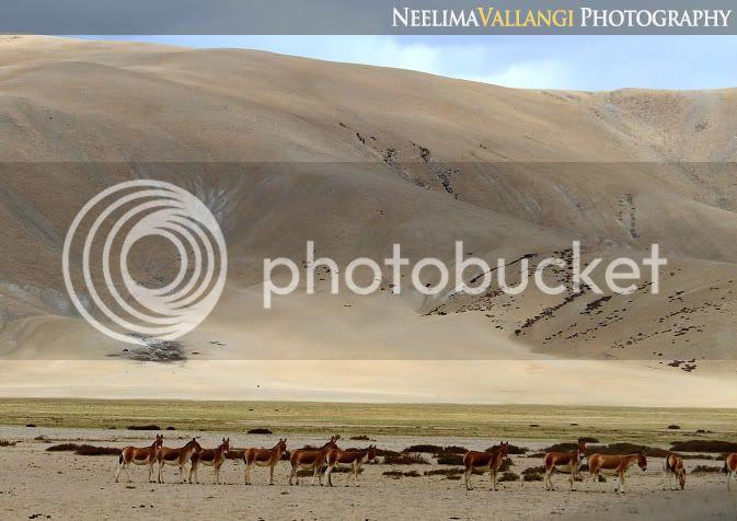 Kiang / Tibetan Wild Ass