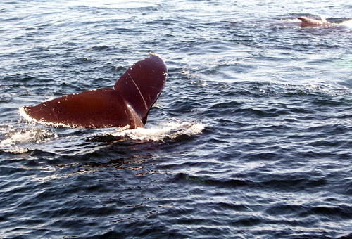 Whale_group_Tail2