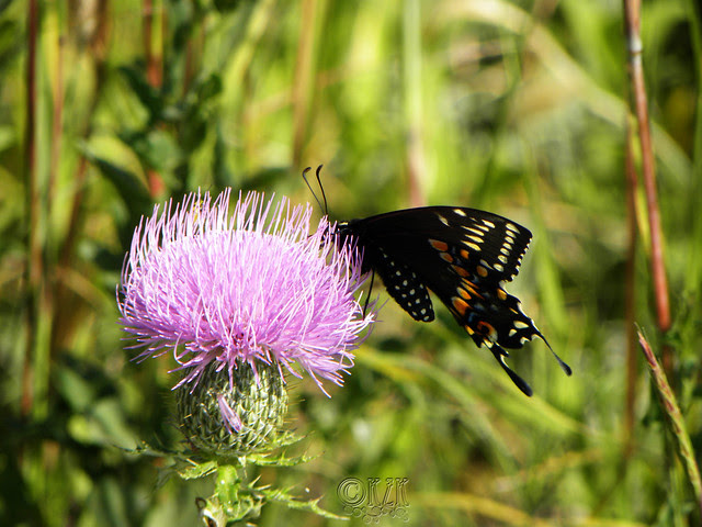 DSCN4403 Butterfly on Thistle