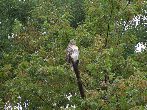 Red-Tail Fledgling Watches over Morningside Park