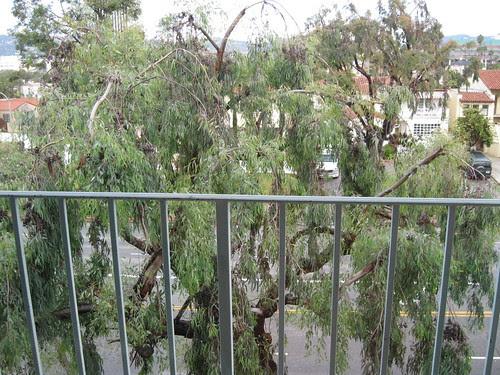 "The ""Hummingbird Tree"" Outside My 3rd Floor Apartment"
