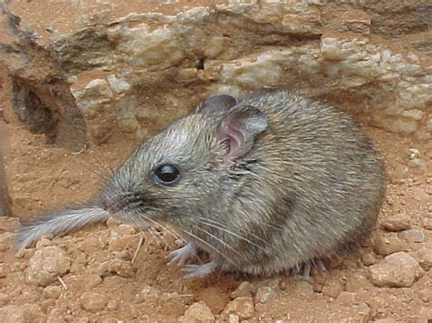 Long nosed Luzon Forest Mouse