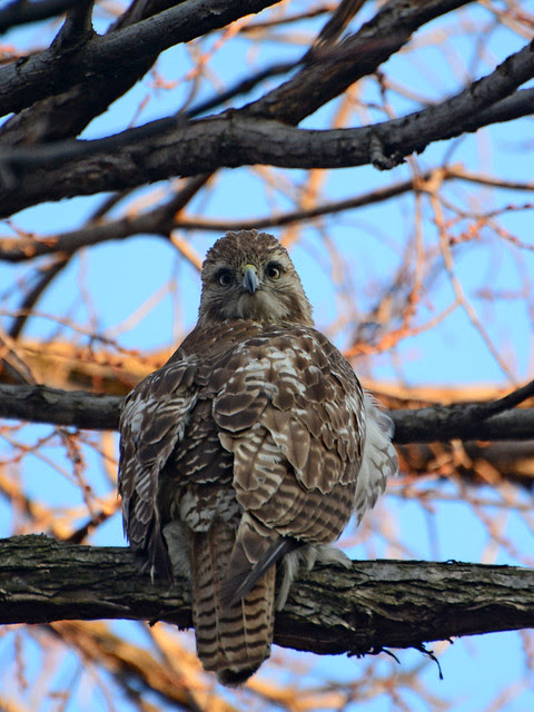 Juvenile Red-Tailed Hawk (6222)