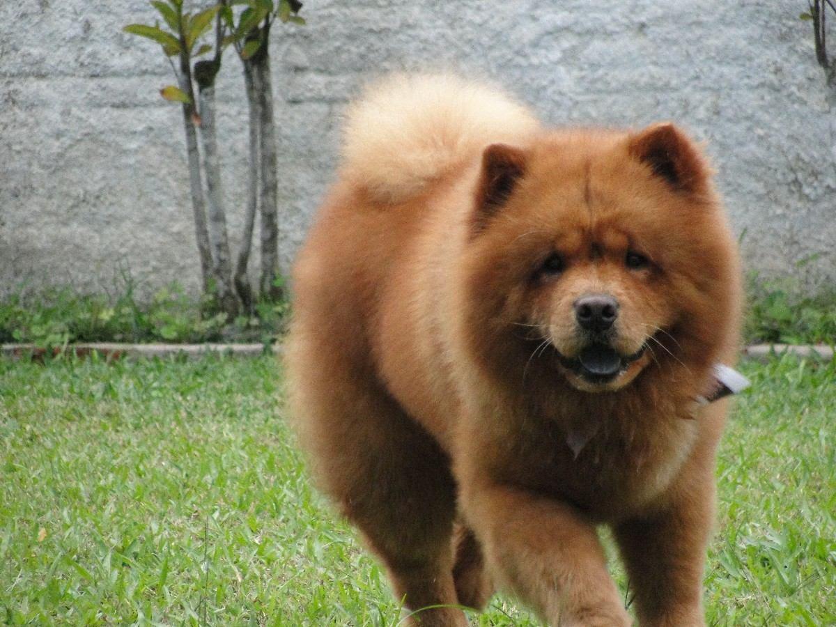 filhote-chow-chow-co-cachorro-13922-MLB2942530029_072012-F