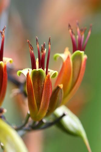 phormium flowers