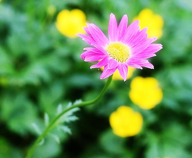 daisy-pink2 copy