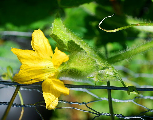 Female Honeydew Flower