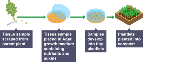 IGCSE Biology: 5.18 Understand how micropropagation can be ...