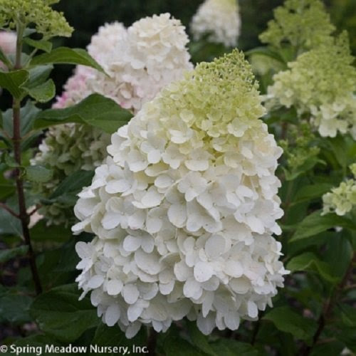 "Pillow Talk TM Hardy Hydrangea - 4"" Pot - Hydrangea paniculata"
