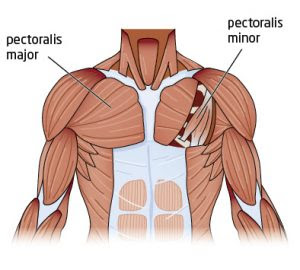 chest anatomy 300x270 HOW TO PADDLE STRONGER AND LONGER