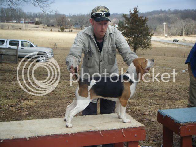 Mooreboys Beagles are Rabbit Hunting Gundogs