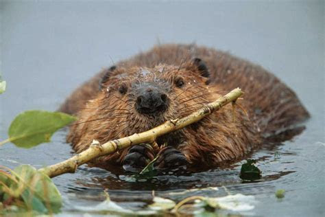 Beavers Are Nature's Builders