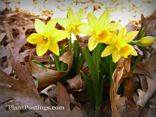 mini-daffs2