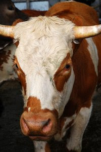 cow: a photograph of a cow.   just for you.
