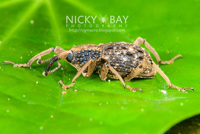 Weevil (Curculionidae) - DSC_0679