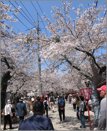 056 cherry blossoms along the old Izumo Road