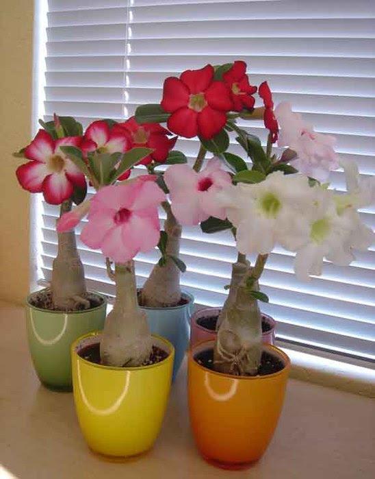 Адениум - пустынная роза, выращивание и уход