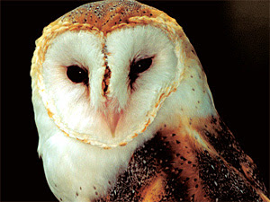 Owl Spirit Animal Owl Totem Meaning