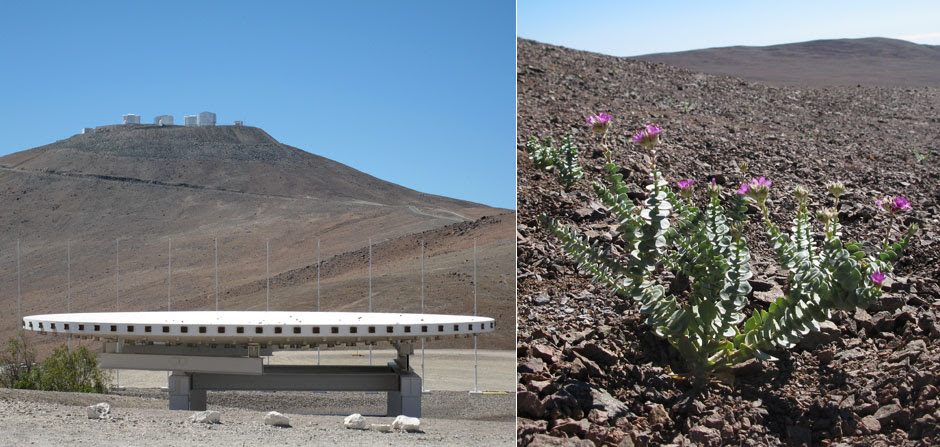antennas and flowers in Paranal