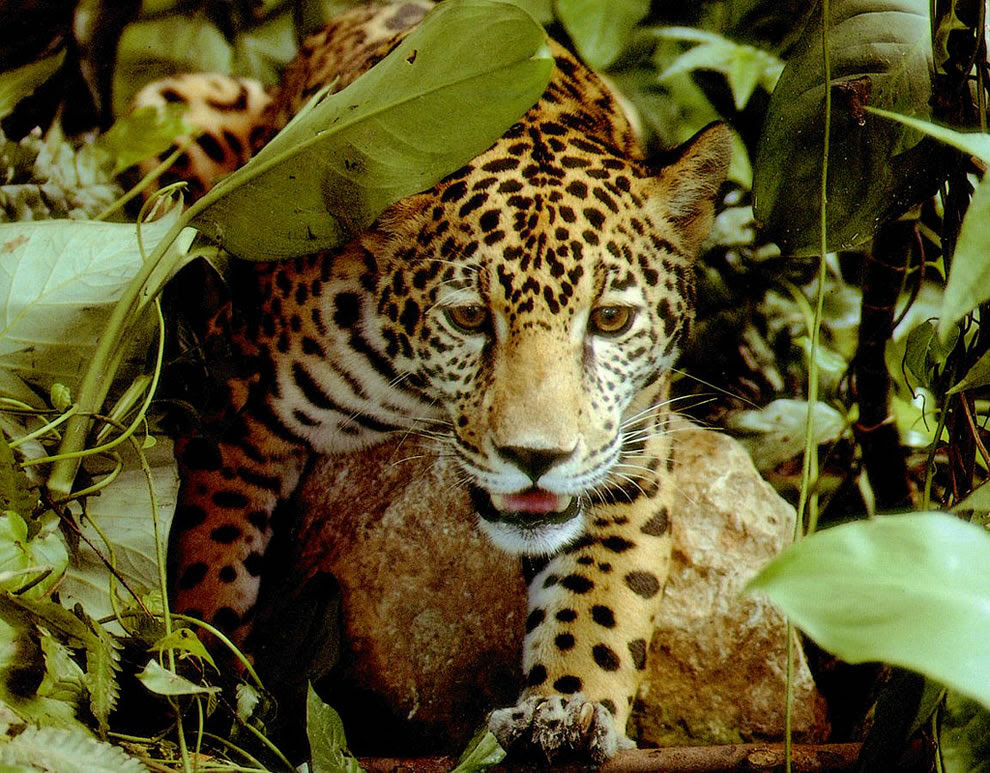 Amazon rainforest jaguar