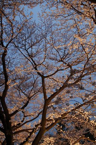Cherry blossoms of Toho Studios
