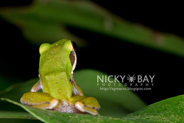 Copper-cheeked Frog (Hydrophylax raniceps) - DSC_7946
