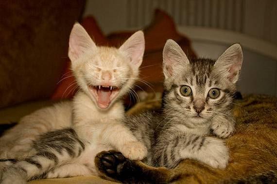 zevalice07 Gambar Anak Kucing Menguap dengan Sangat Comel