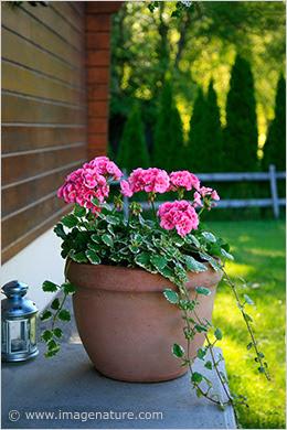 Pot with pink geranium flowers