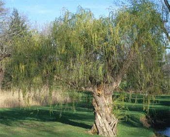 Green Willow Spirit Of Trees
