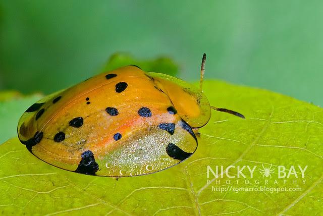 Tortoise Beetle (Hispinae sp.) - DSC_2970