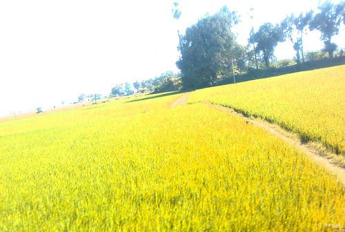Golden paddy field