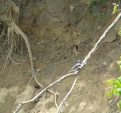 Kingfisher bringing fish back to nest