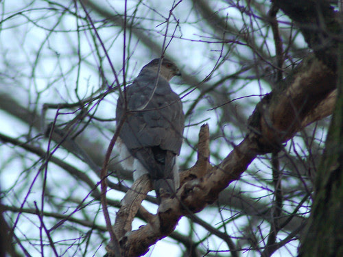Cooper's Hawk in Central Park North Woods