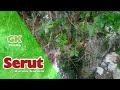 Berburu bahan bonsai serut di alam liar