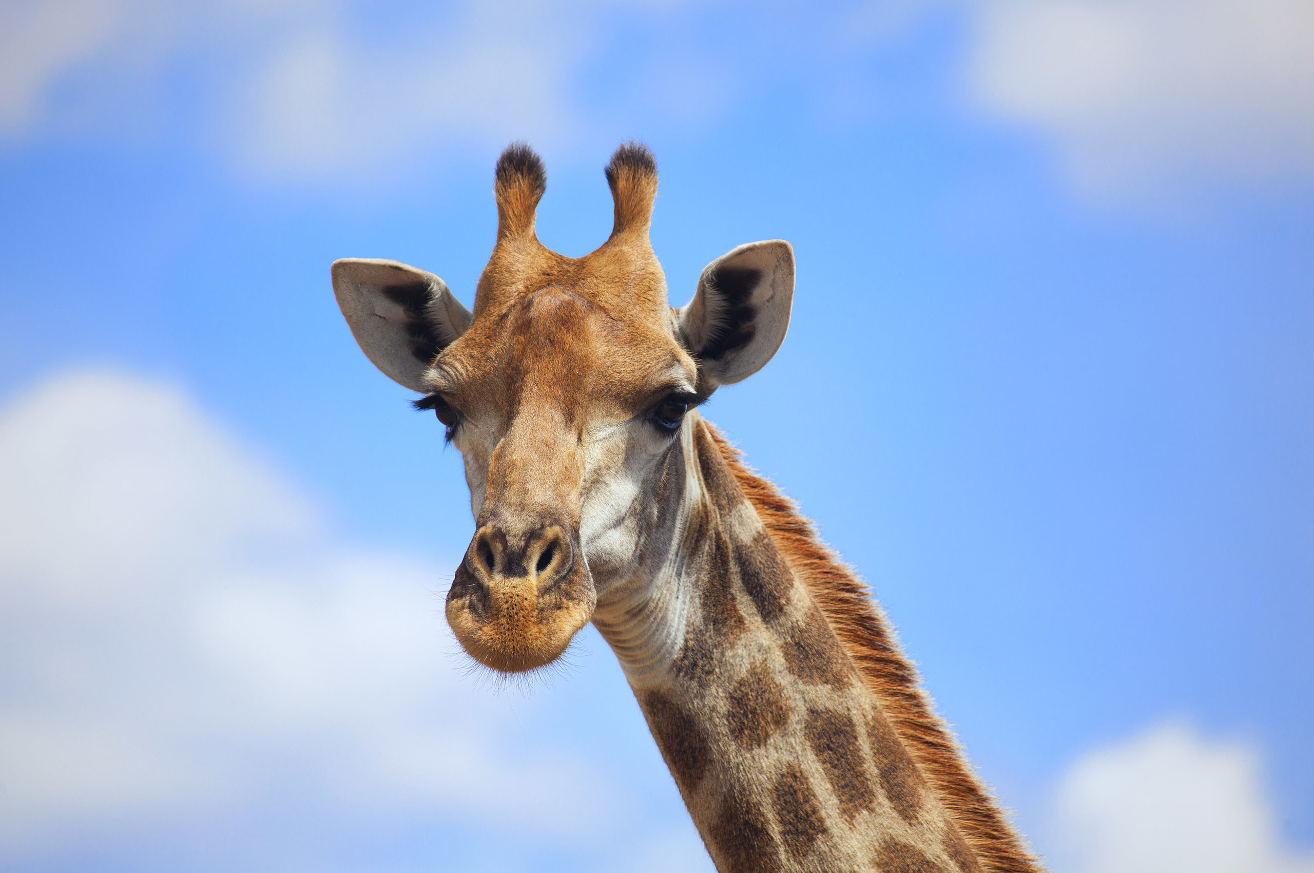 Giraffes Wallpapers (78+ images)