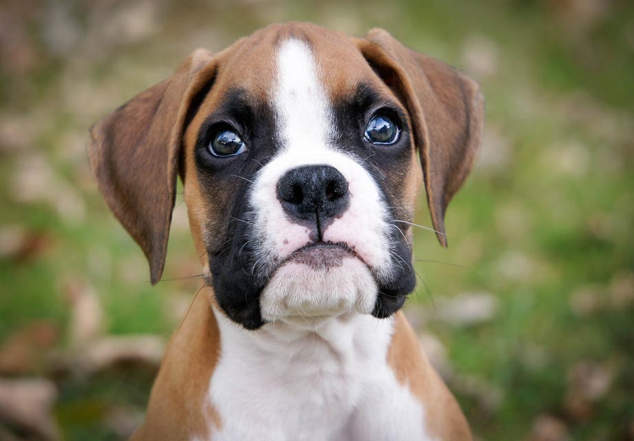 Find Boxer Puppies For Sale In Wales UK