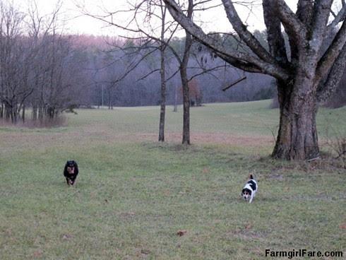 Lucky Buddy Bear, ace cattle dog (10) - FarmgirlFare.com