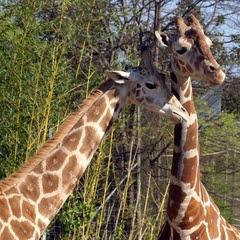 Girafa (Foto: SXC)