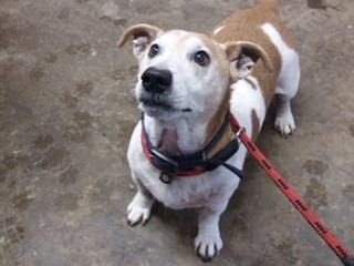 Patch – 8 year old male Jack Russell Terrier