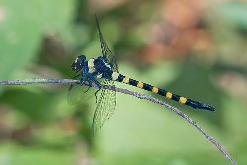 Macrogomphus thoracius dragonfly IMG_8850 record shot copy edit