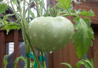 Tomatoes_72712b