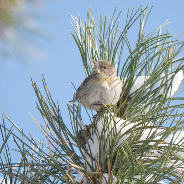 Ed Gaillard: recent &emdash; Warbler, probably Yellow-Rumped, Central Park