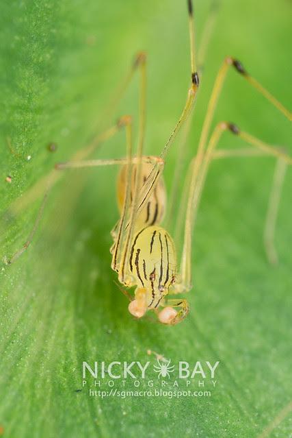 Spitting Spider (Scytodidae) - DSC_5101